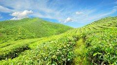 中国年茶叶产量240多万吨占世界四成